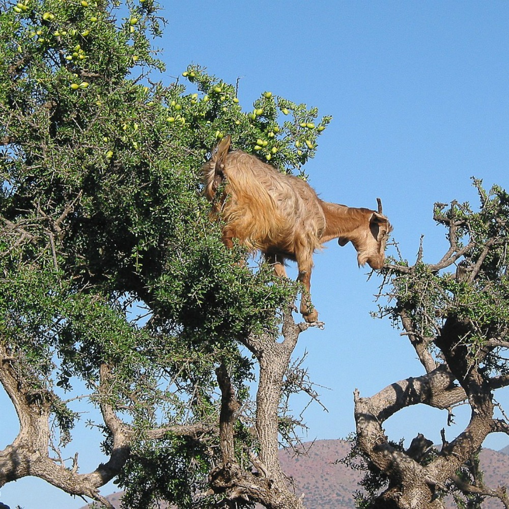 argan tree cosanzene